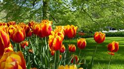 tulip in amsterdam botanical garden