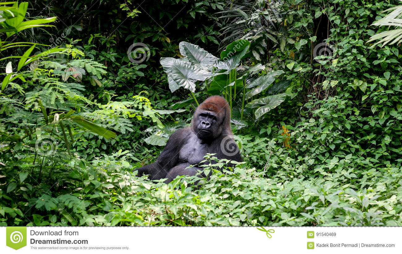 wild-gorilla-silverback-mountain-