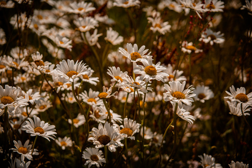 Wild Daisy Meadow, Fyvie