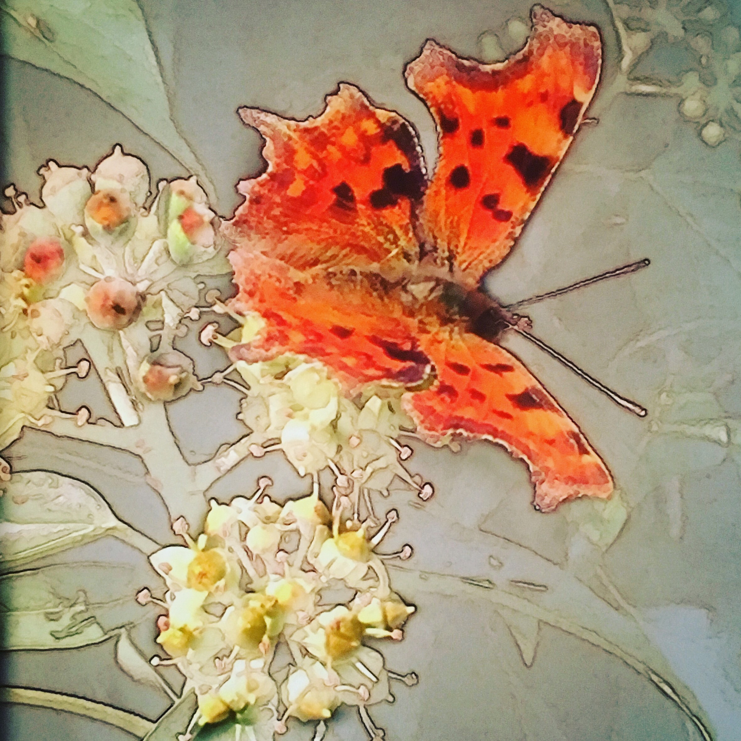 Comma on ivy blossom