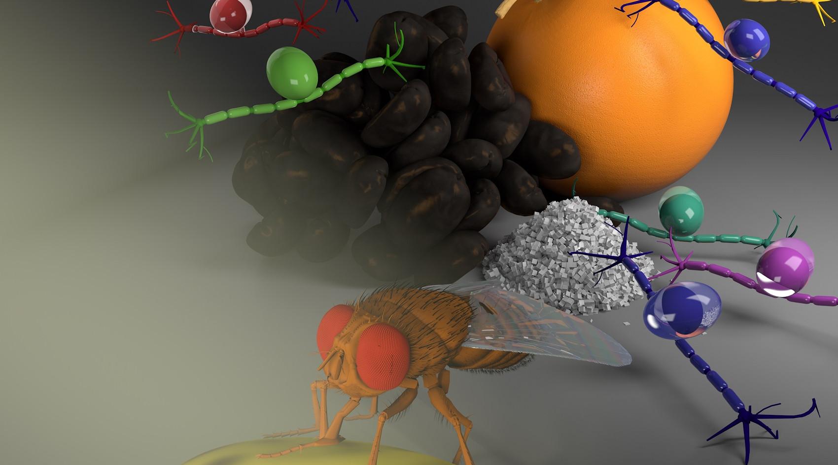 Sensory neurons in flies