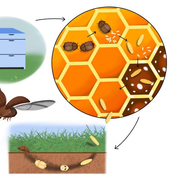 Small hive beetle life cycle