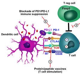 PD1/PD-L1 immunosuppression