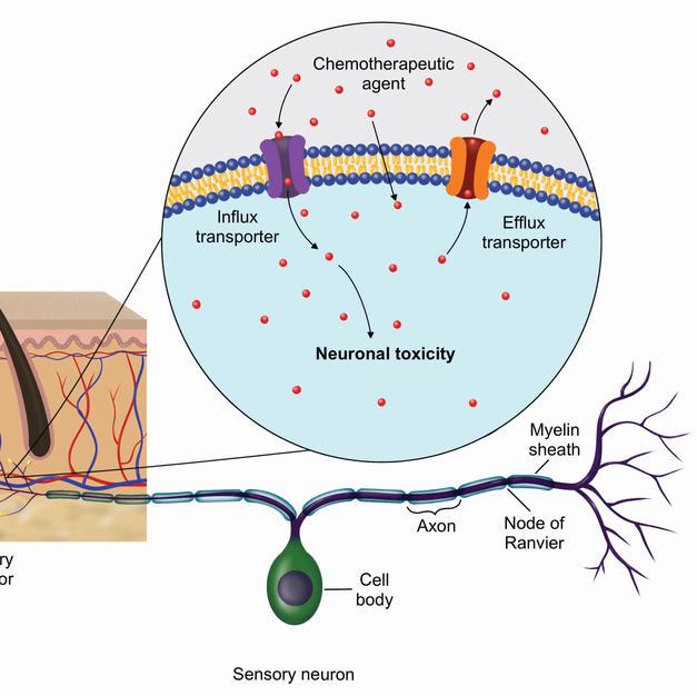 Neuronal toxicity