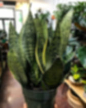 Back in stock! Gorgeous 6in Snake Plants