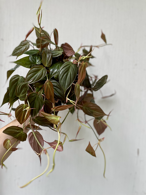 Philodendron Micans - 6in