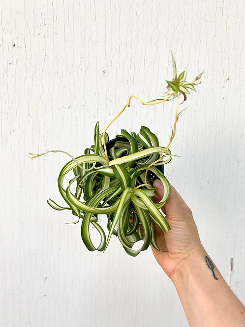 Curly Spider Plant - 4in