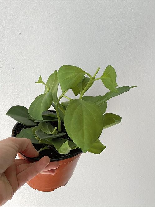 Hoya Pachyclada - 6in