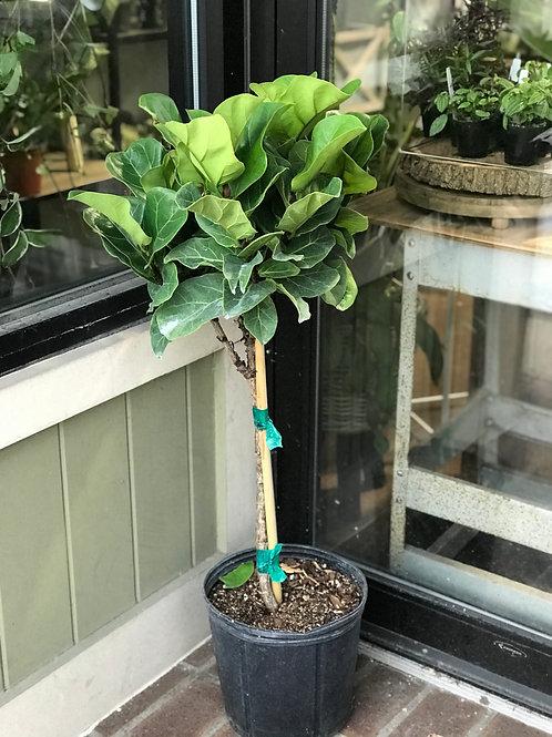 Ficus Lyrata Standard - Little Fiddle 10in Pot