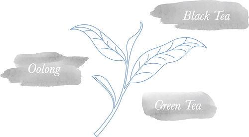 tea plant, tea leaf