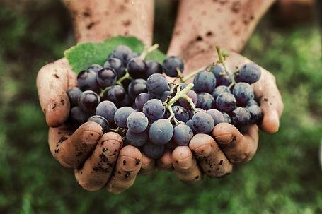 2 Hände die rote Weintrauben halten