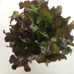 Class 9 - 1 Lettuce (Mrs Julie Cox)