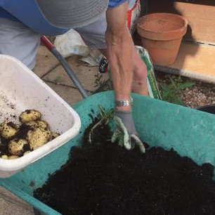 Class 39 - unearthing potatoes for the Presidents Challenge (Mr Lyn Cornelius)