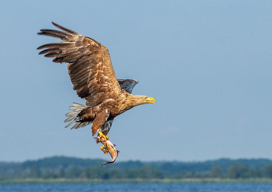 01116White_Tailed _Eagle 1st..jpg