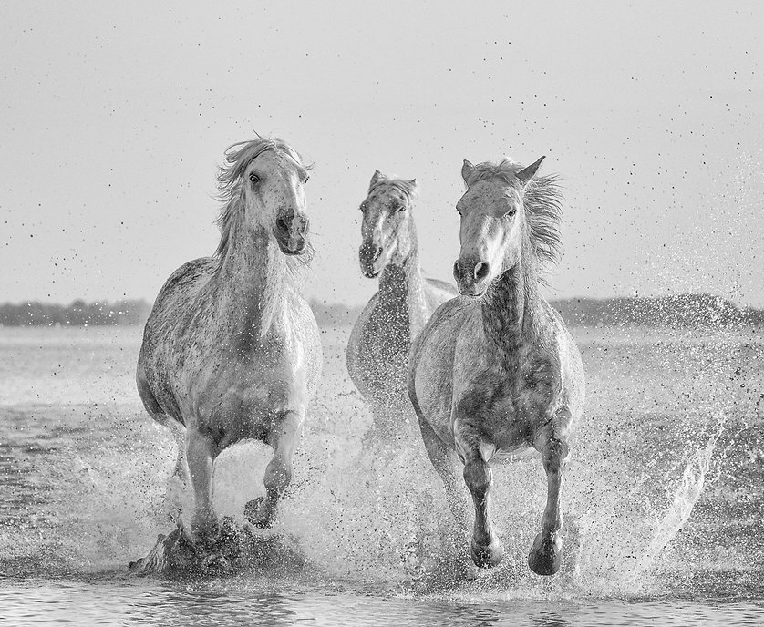 06108_Camargue_Horses.jpg