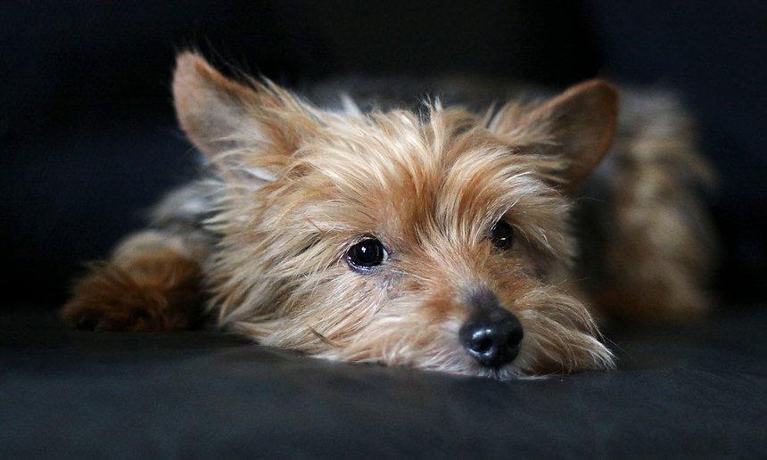 rd02_0175_Yorkshire_Terrier.jpg
