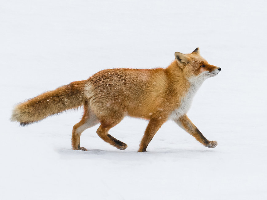 08108_Fantastic_Mr_Fox.jpg