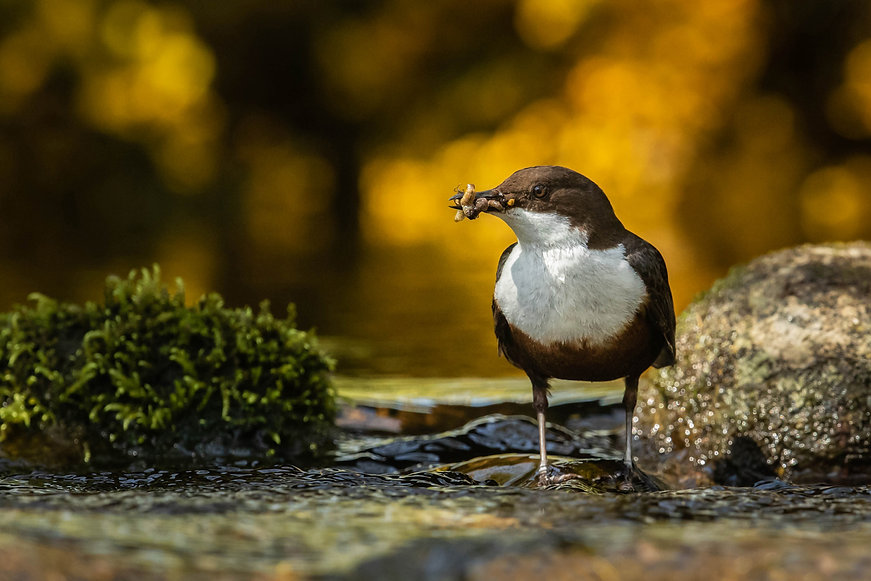 02108_Dipper_collecting_feed.jpg