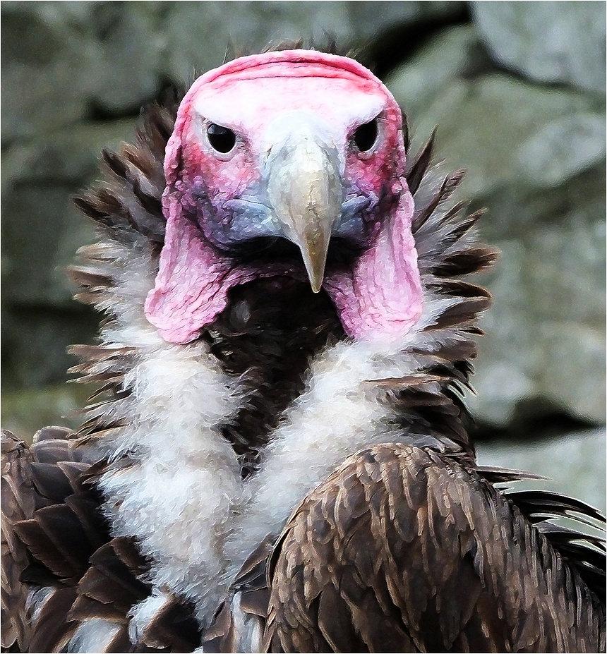 917944_0557_lappet_faced_vulture.jpg