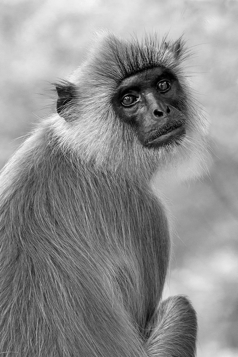 02117_Hanuman_Langur_.jpg