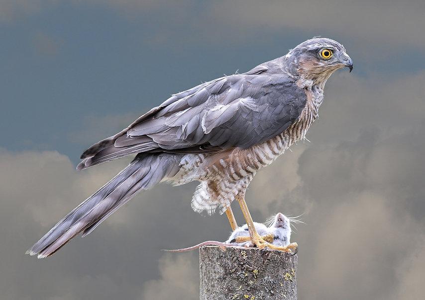 2. Sparrow Hawk.jpg