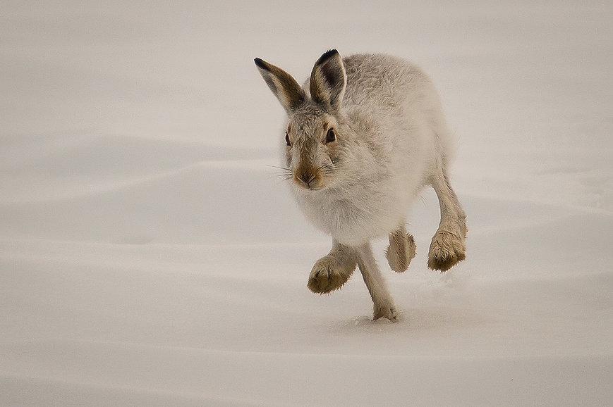 Mountain_Hare.jpg