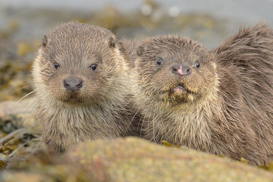 Shetland_Otters.jpg