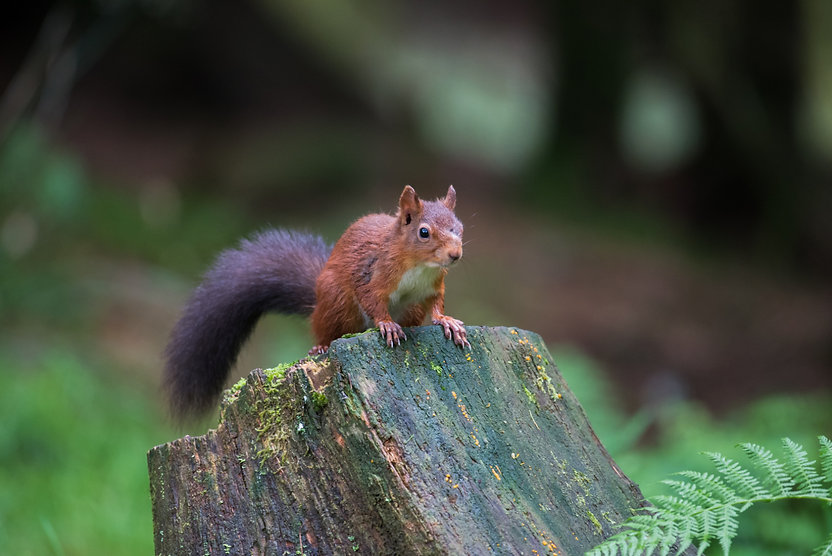 Red_Squirrel.jpg
