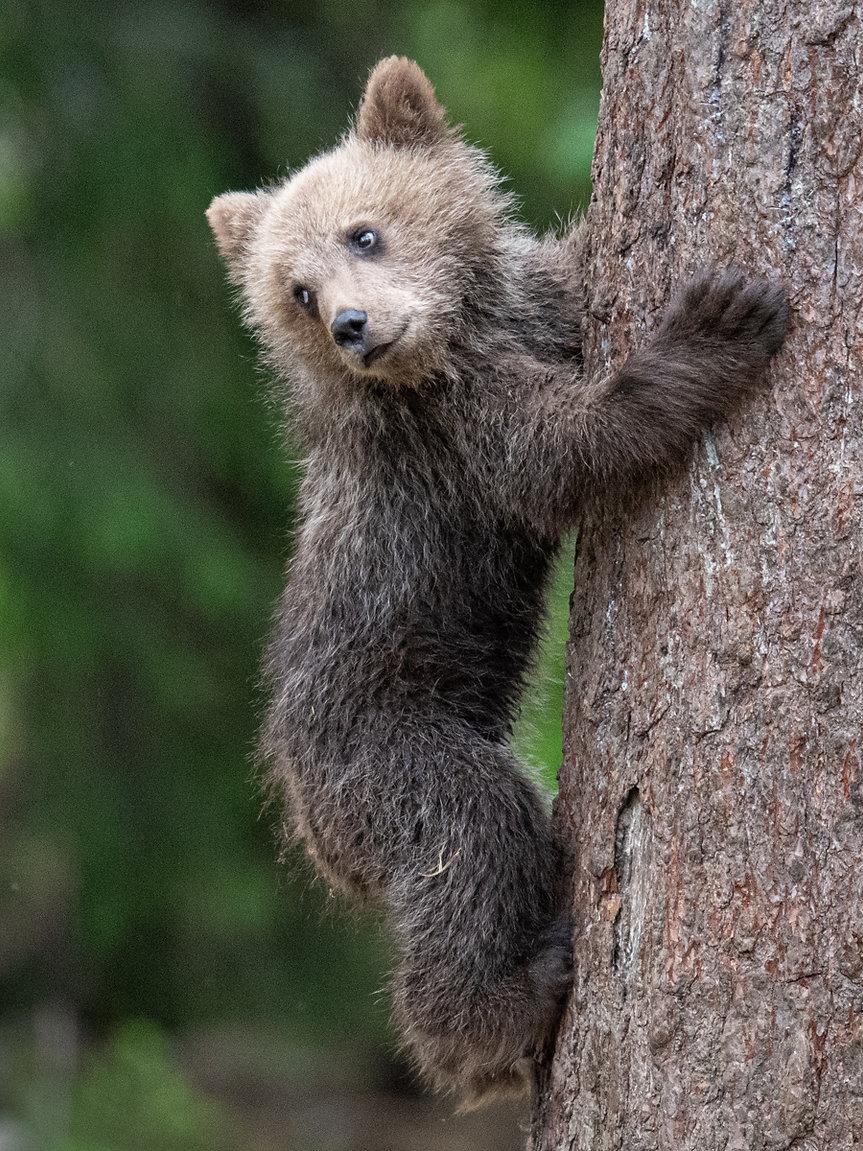 Brown_bear_cub.jpg