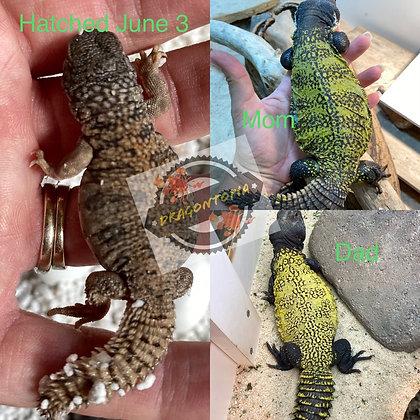 Nigriventris, aka Morrocan, Corona and Leroy