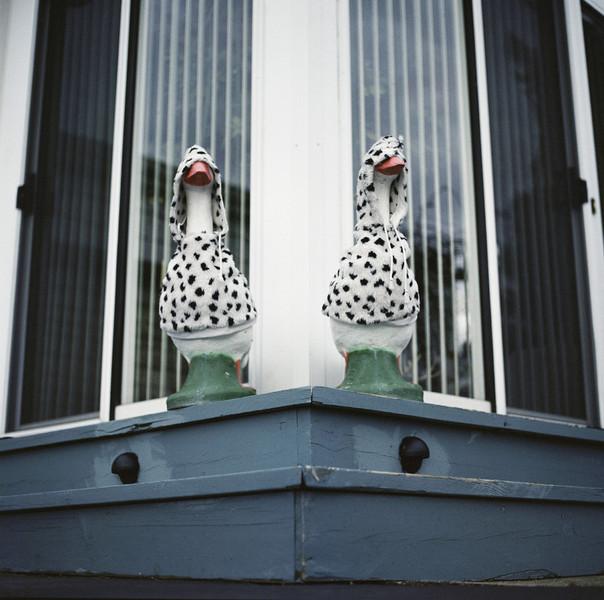 Dalmatian Geese