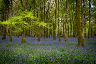 Derreen Wood, Boyle.jpg