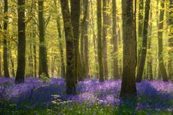 Purple Haze - Derreen Wood