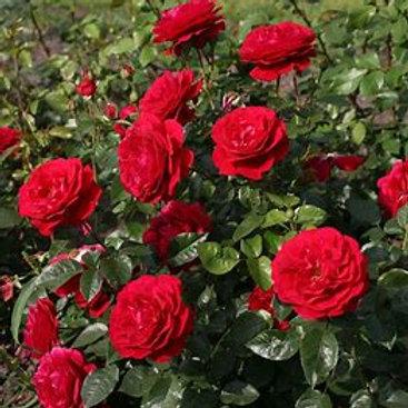 15ml - Rose
