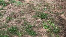 Geel gazon door droogte