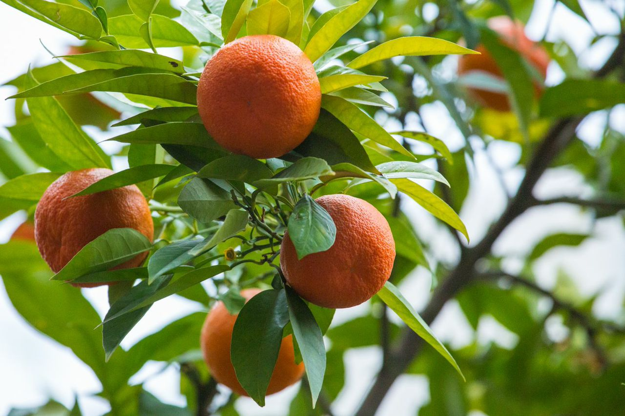 Orange Tree in Turkey
