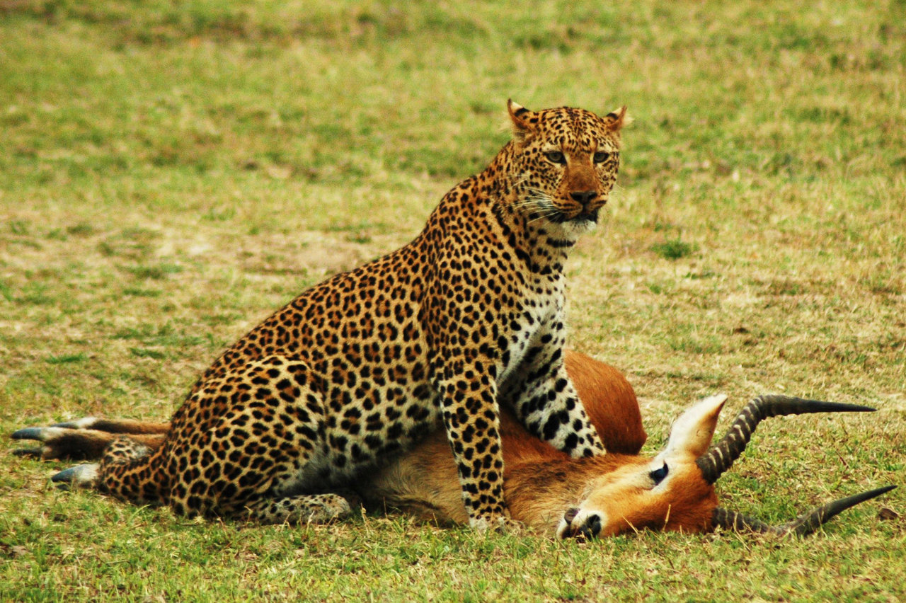 South+Luangwa+National+Park+Leopard+Kill