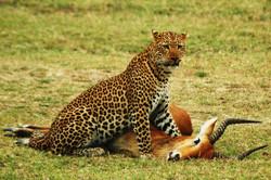 South+Luangwa+National+Park+Leopard+Kill