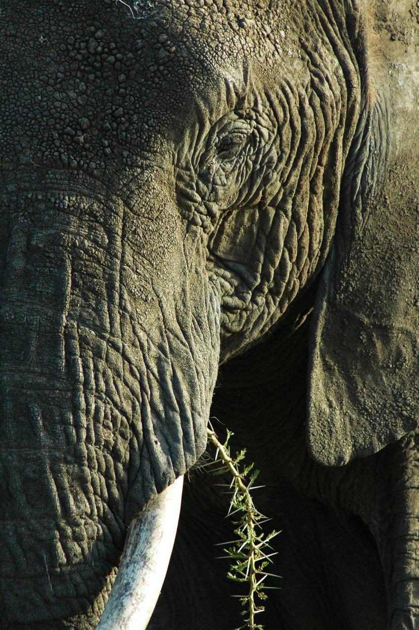 The+Serengeti+National+Park+Elephant