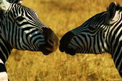 The+Serengeti+National+Park+Zebra