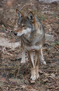 800px-Canis_rufus_1_-_Syracuse_Zoo.jpg