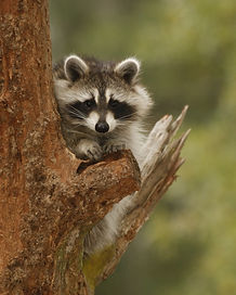 raccoon-swp-120608-020_edited.jpg