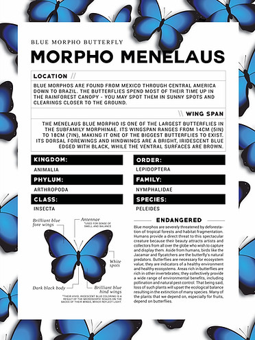 Morpho Menelaus Butterfly Infographic Poster