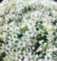 ._#ニラ の花_明日の#青山ファーマーズマーケット に_お持ちします。_味は、