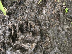 Badger prints.