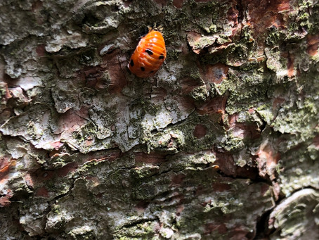 The ladybird goes into a pupal stage.