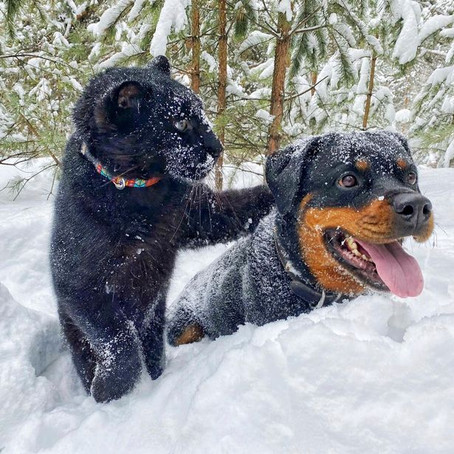 Rottweiler And Panther Become Best Buds