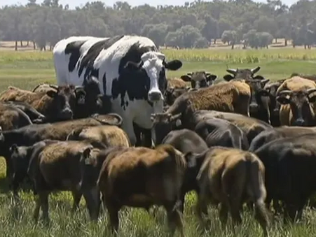 """Absolute Jumbo Aussie Cow """"Knickers"""" Goes Viral"""