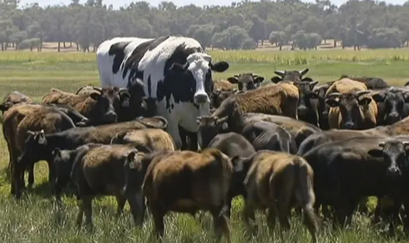 Knickers The Giant Cow