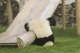 Panda falling out of tree